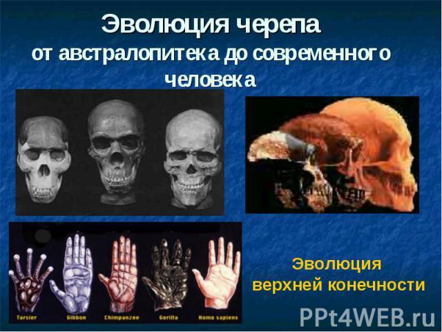 Эволюция черепаот австралопитека до современного человекаЭволюция верхней конечности