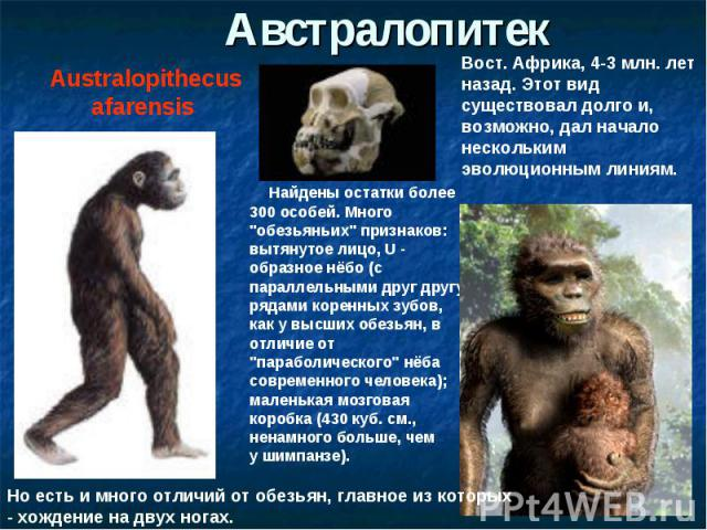 АвстралопитекAustralopithecus afarensis Вост. Африка, 4-3 млн. лет назад. Этот вид существовал долго и, возможно, дал начало нескольким эволюционным линиям. Найдены остатки более 300 особей. Много