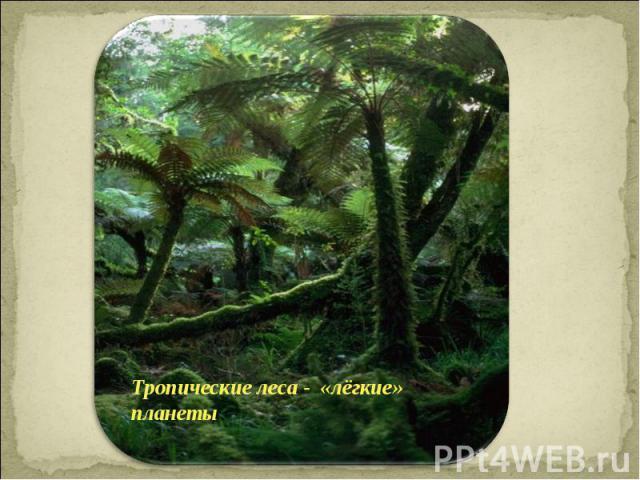 Тропические леса - «лёгкие» планеты