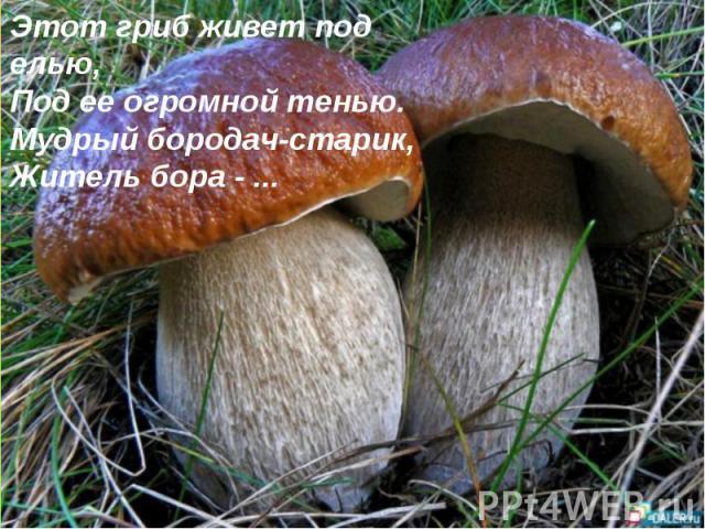 Этот гриб живет под елью, Под ее огромной тенью. Мудрый бородач-старик, Житель бора - ...