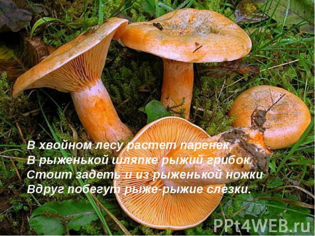 В хвойном лесу растет паренек,В рыженькой шляпке рыжий грибок.Стоит задеть и из рыженькой ножкиВдруг побегут рыже-рыжие слезки.