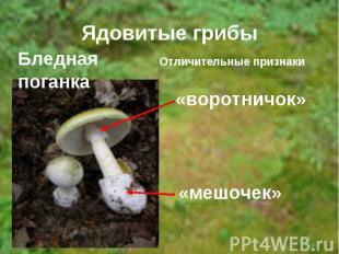 Ядовитые грибы Бледная поганка