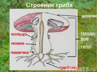 Строение гриба шляпкаПлодо-воетело