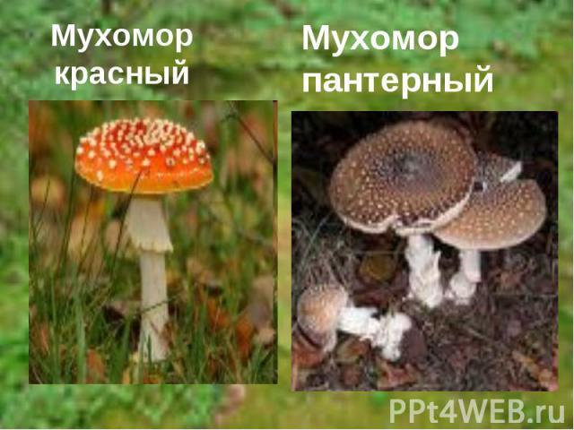 Мухомор красныйМухомор пантерный
