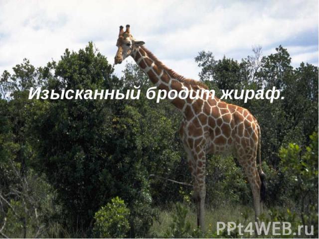 Изысканный бродит жираф.
