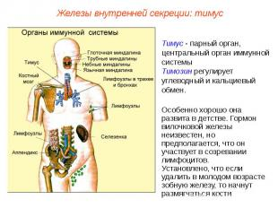 Железы внутренней секреции: тимусТимус - парный орган, центральный орган иммунно