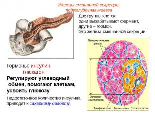 Железы смешанной секреции: поджелудочная железаДве группы клеток: одни вырабатыв