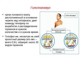 Гипоталамусорган головного мозга, расположенный в основании черепа над гипофизом