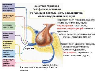 Передняя доля гипофиза выделяет Гормоны, стимулирующие:соматотропин_- рост тела,