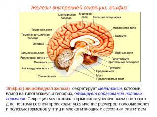 Железы внутренней секреции: эпифизЭпифиз (шишковидная железа) секретирует мелато