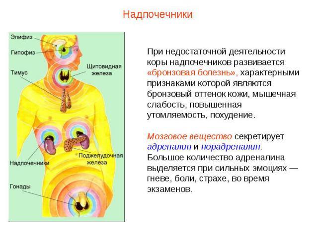 НадпочечникиПри недостаточной деятельности коры надпочечников развивается «бронзовая болезнь», характерными признаками которой являются бронзовый оттенок кожи, мышечная слабость, повышенная утомляемость, похудение.Мозговое вещество секретирует адрен…