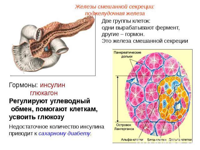 Железы смешанной секреции: поджелудочная железаДве группы клеток: одни вырабатывают фермент, другие – гормон. Это железа смешанной секрецииГормоны: инсулин глюкагонРегулируют углеводный обмен, помогают клеткам, усвоить глюкозуНедостаточное количеств…