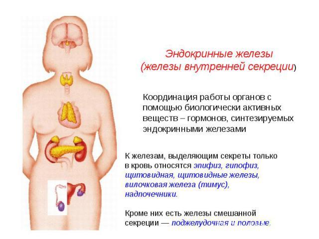 Эндокринные железы(железы внутренней секреции) Координация работы органов с помощью биологически активных веществ – гормонов, синтезируемых эндокринными железамиК железам, выделяющим секреты только в кровь относятся эпифиз, гипофиз, щитовидная, щито…