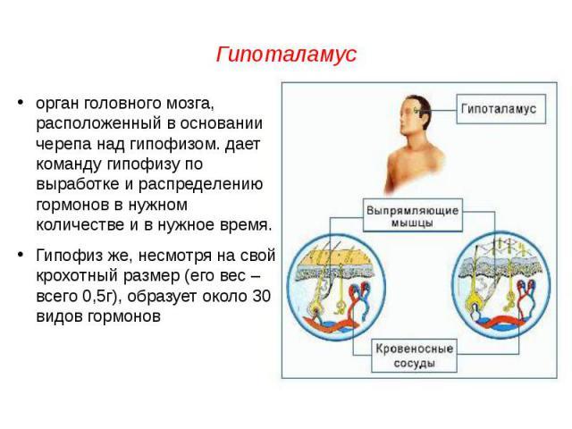 Гипоталамусорган головного мозга, расположенный в основании черепа над гипофизом. дает команду гипофизу по выработке и распределению гормонов в нужном количестве и в нужное время.Гипофиз же, несмотря на свой крохотный размер (его вес – всего 0,5г), …