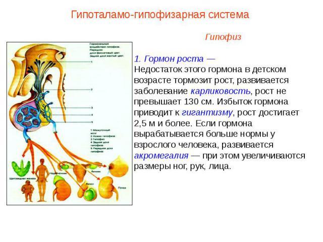Гипоталамо-гипофизарная системаГипофиз1. Гормон роста —Недостаток этого гормона в детском возрасте тормозит рост, развивается заболевание карликовость, рост не превышает 130 см. Избыток гормона приводит к гигантизму, рост достигает 2,5 м и более. Ес…