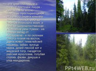 На юге края - по левым и правым притокам Амура - другая тайга: елово-пихтовая, п