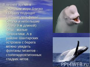 В летнее время в Охотском море близко к берегу подходят крупные дельфины-белухи