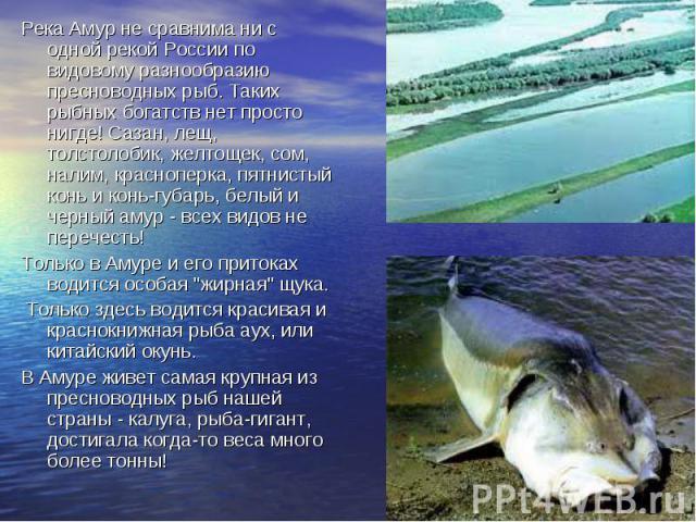 Река Амур не сравнима ни с одной рекой России по видовому разнообразию пресноводных рыб. Таких рыбных богатств нет просто нигде! Сазан, лещ, толстолобик, желтощек, сом, налим, красноперка, пятнистый конь и конь-губарь, белый и черный амур - всех вид…