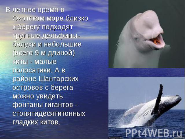 В летнее время в Охотском море близко к берегу подходят крупные дельфины-белухи и небольшие (всего 9 м длиной) киты - малые полосатики. А в районе Шантарских островов с берега можно увидеть фонтаны гигантов - стопятидесятитонных гладких китов.