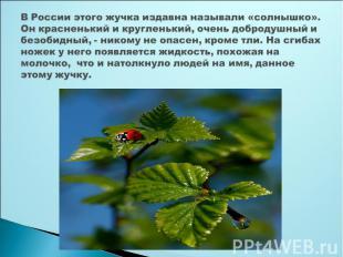 В России этого жучка издавна называли «солнышко». Он красненький и кругленький,