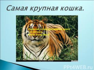 Самая крупная кошка.Амурские кошки достигают в длину 3,5 метра иВесят более300 к