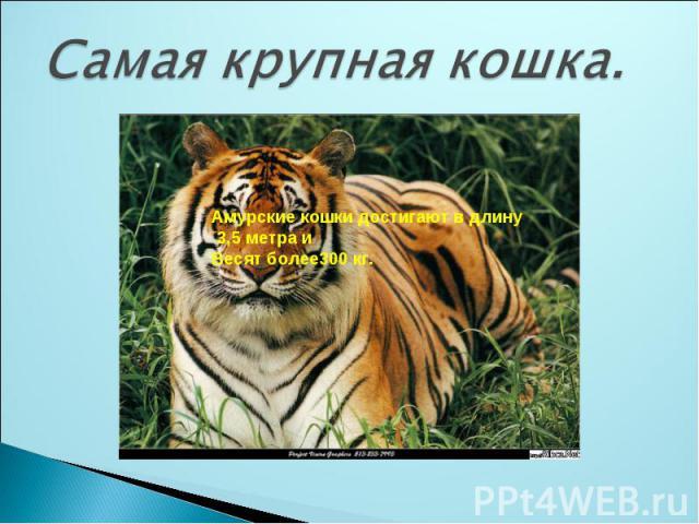 Самая крупная кошка.Амурские кошки достигают в длину 3,5 метра иВесят более300 кг.