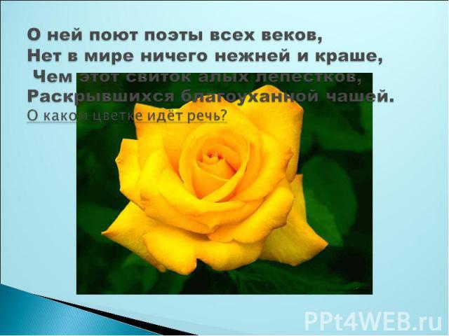 О ней поют поэты всех веков,Нет в мире ничего нежней и краше, Чем этот свиток алых лепестков,Раскрывшихся благоуханной чашей.О каком цветке идёт речь?