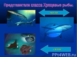 Представители класса Хрящевые рыбы.