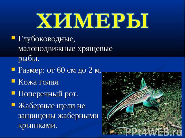 ХИМЕРЫГлубоководные, малоподвижные хрящевые рыбы.Размер: от 60 см до 2 м.Кожа голая.Поперечный рот.Жаберные щели не защищены жаберными крышками.