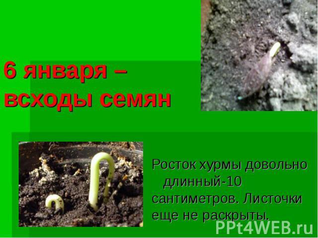 6 января – всходы семянРосток хурмы довольно длинный-10 сантиметров. Листочки еще не раскрыты.