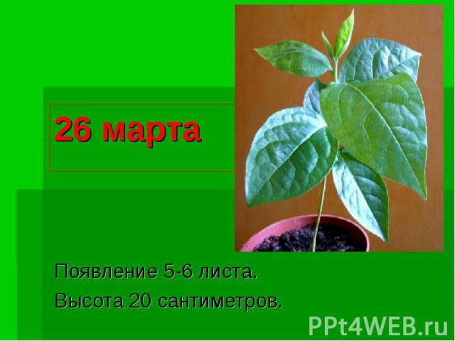 26 марта Появление 5-6 листа.Высота 20 сантиметров.