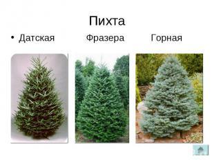 ПихтаДатская Фразера Горная