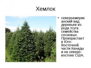 Хемлоксевероамериканский вид деревьев из рода тсуга семейства сосновых. Произрас