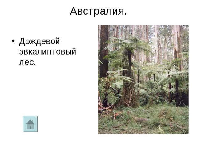 Австралия.Дождевой эвкалиптовый лес.