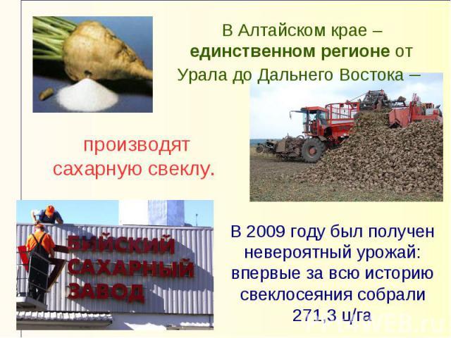 В Алтайском крае – единственном регионе от Урала до Дальнего Востока – производят сахарную свеклу. В 2009 году был получен невероятный урожай: впервые за всю историю свеклосеяния собрали 271,3 ц/га