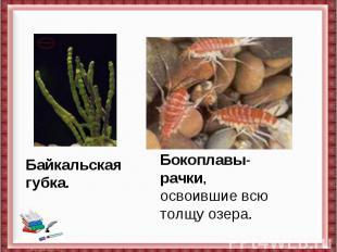 Байкальская губка.Бокоплавы-рачки,освоившие всю толщу озера.