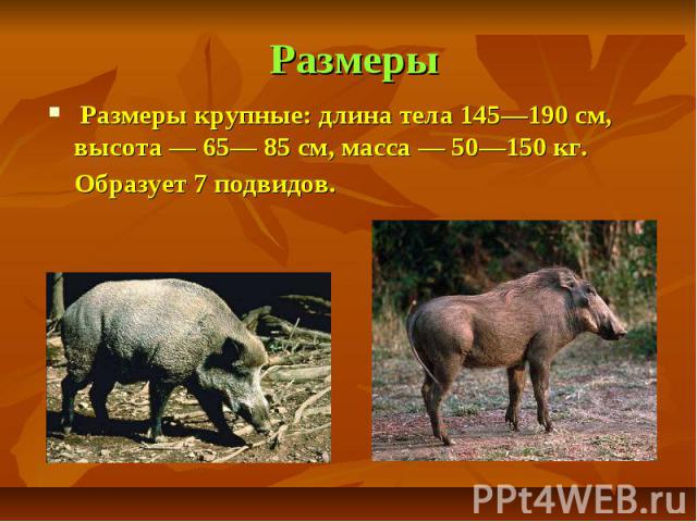 Размеры Размеры крупные: длина тела 145—190 см, высота — 65— 85 см, масса — 50—150 кг. Образует 7 подвидов.