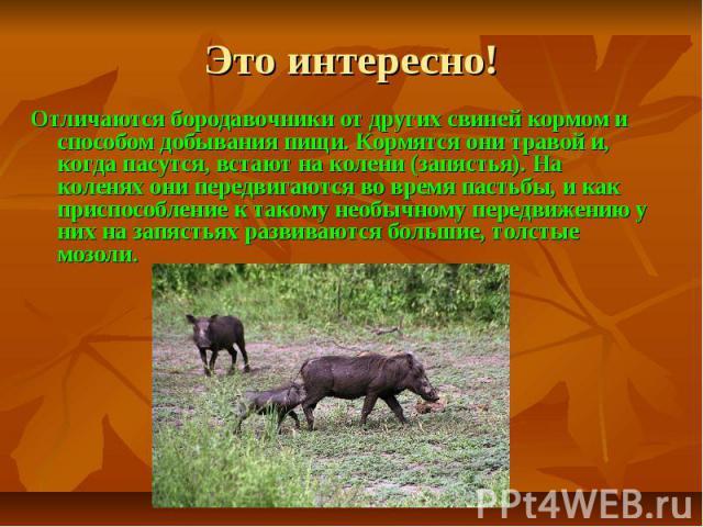 Это интересно!Отличаются бородавочники от других свиней кормом и способом добывания пищи. Кормятся они травой и, когда пасутся, встают на колени (запястья). На коленях они передвигаются во время пастьбы, и как приспособление к такому необычному пере…