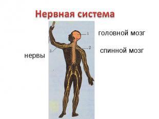 Нервная системаголовной мозгспинной мозгнервы