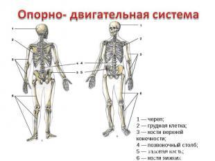 Опорно- двигательная система1 — череп;2 — грудная клетка;3 — кости верхней конеч