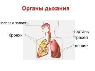 Органы дыханияносовая полость