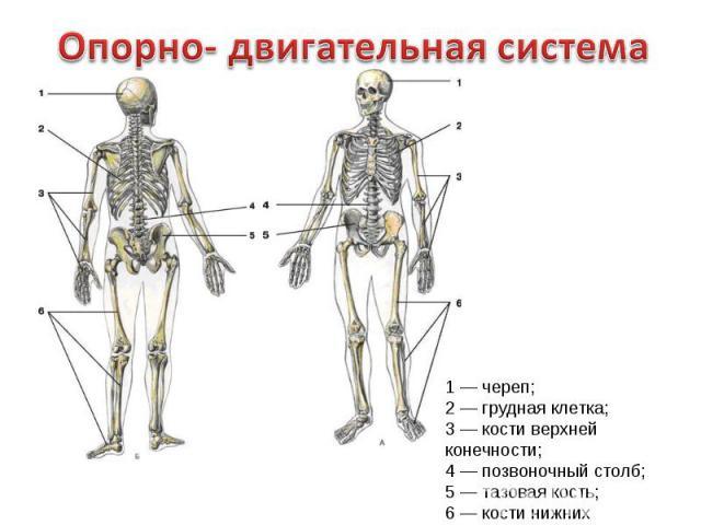 Опорно- двигательная система1 — череп;2 — грудная клетка;3 — кости верхней конечности;4 — позвоночный столб;5 — тазовая кость;6 — кости нижних конечностей.