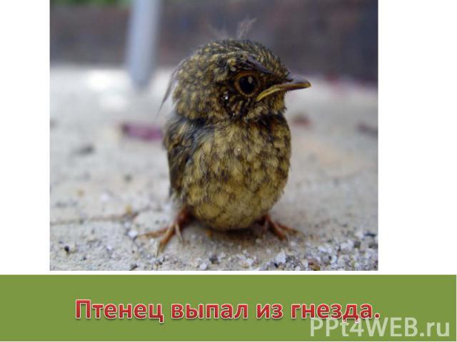 Птенец выпал из гнезда.