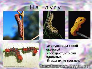 Н а л у г у Эти гусеницы своей окраской сообщают, что они ядовитые. Птицы их не