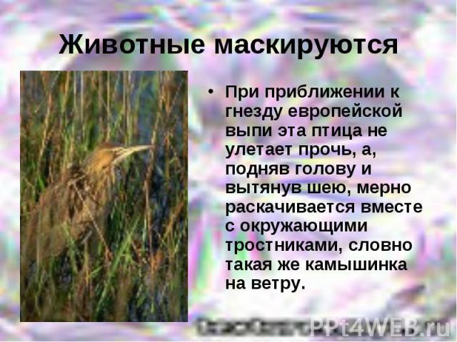 Животные маскируютсяПри приближении к гнезду европейской выпи эта птица не улетает прочь, а, подняв голову и вытянув шею, мерно раскачивается вместе с окружающими тростниками, словно такая же камышинка на ветру.