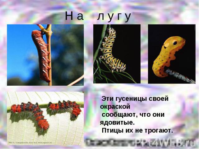 Н а л у г у Эти гусеницы своей окраской сообщают, что они ядовитые. Птицы их не трогают.