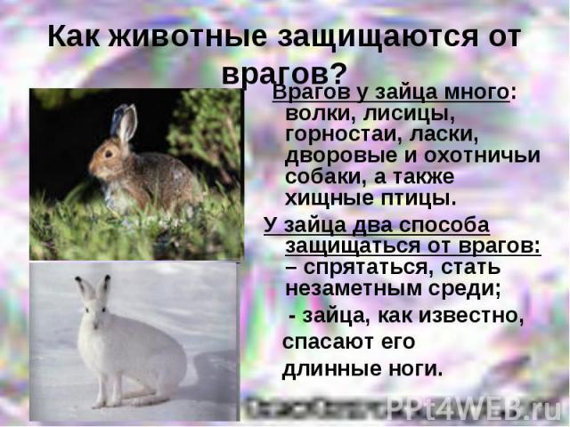 Как животные защищаются от врагов? Врагов у зайца много: волки, лисицы, горностаи, ласки, дворовые и охотничьи собаки, а также хищные птицы. У зайца два способа защищаться от врагов: – спрятаться, стать незаметным среди; - зайца, как известно, спаса…