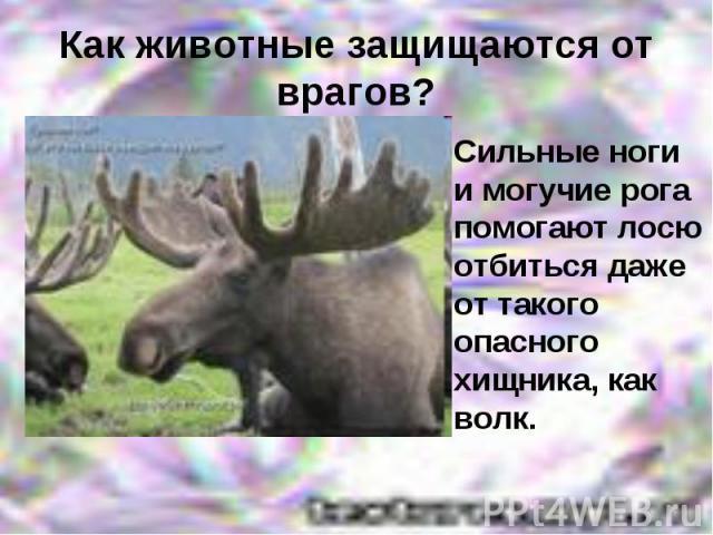Как животные защищаются от врагов?Сильные ноги и могучие рога помогают лосю отбиться даже от такого опасного хищника, как волк.