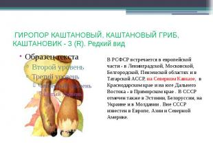 ГИРОПОР КАШТАНОВЫЙ, КАШТАНОВЫЙ ГРИБ, КАШТАНОВИК - 3 (R). Редкий вид В РСФСР встр
