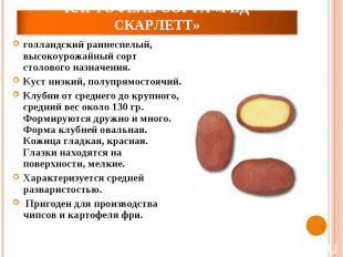 Картофель сорта «Ред Скарлетт»голландский раннеспелый, высокоурожайный сорт стол